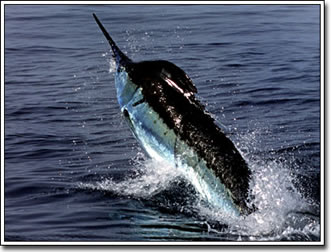 Marlin Leaping